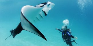 The Manta Rays of Australia