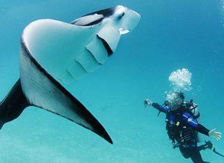 The Manta Rays of Australia