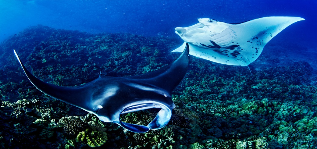 Night Dive Manta Rays at Kona Coast